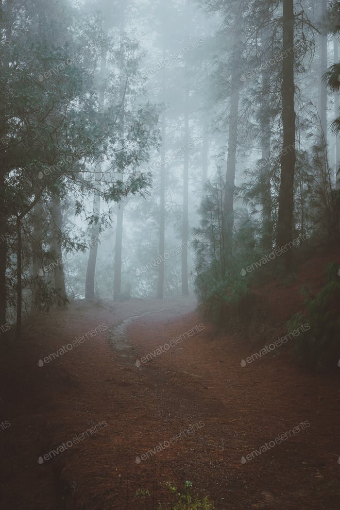 Road in a mysterious pine forest. Rainy and misty weather near Cova crater on Santo Antao Island
