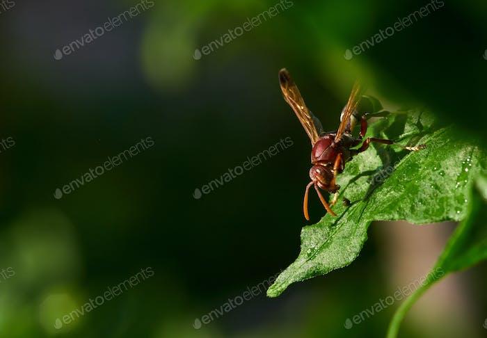 The hornet on the leaf