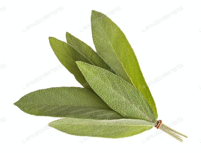 Sage leaves isolated