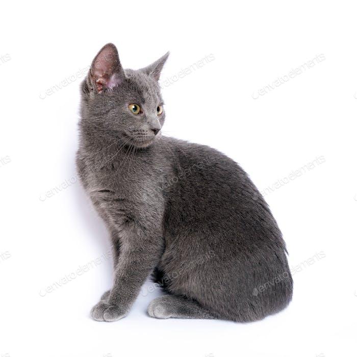 Gray kitten sitting on white background