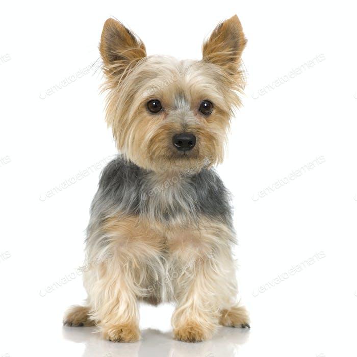 Yorkshire Terrier (3 years)
