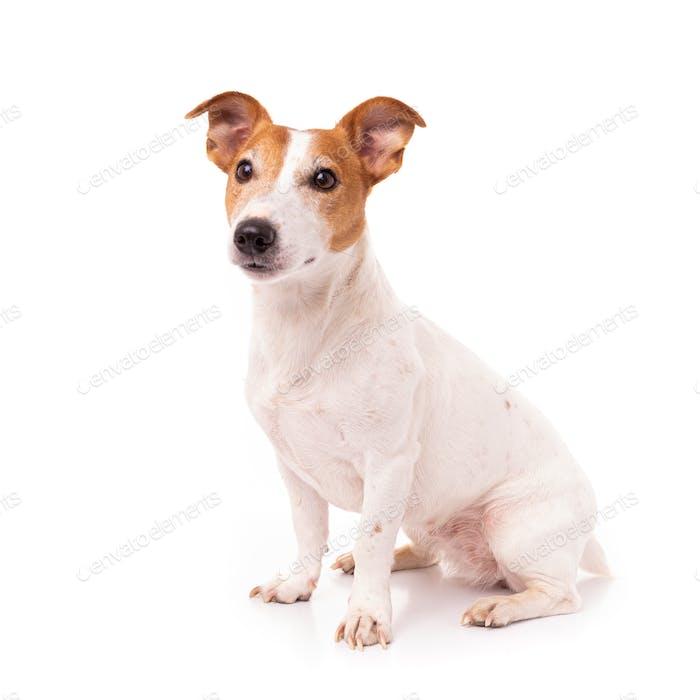 Jack Russell Terrier, isoliert auf weißem Hintergrund im Studio