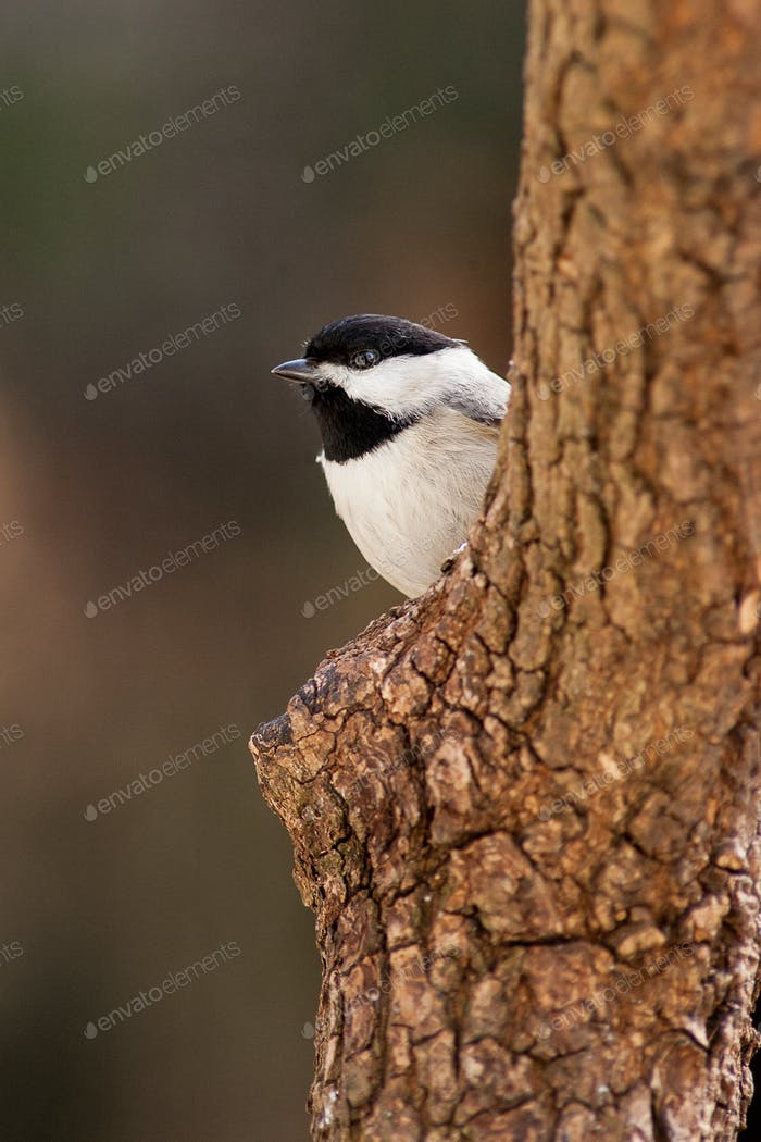 Carolina Chickadee on Tree