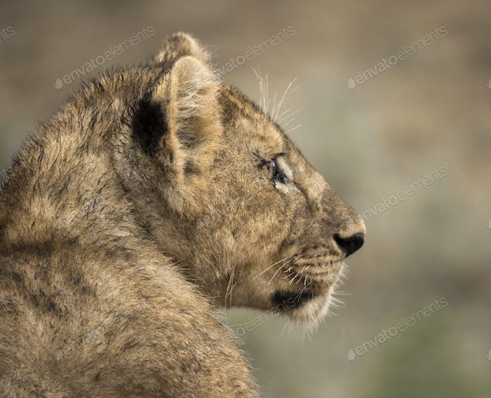 Close-up of a young lion, Serengeti, Tanzania, Africa