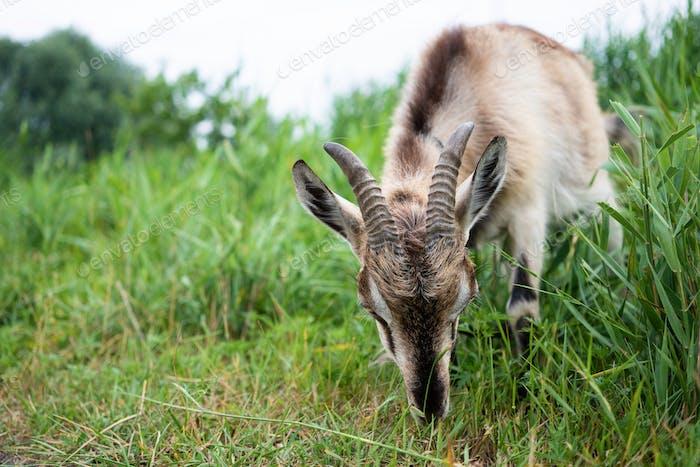 Rauch Ziege mit Hörnern fressen Gras auf Weide