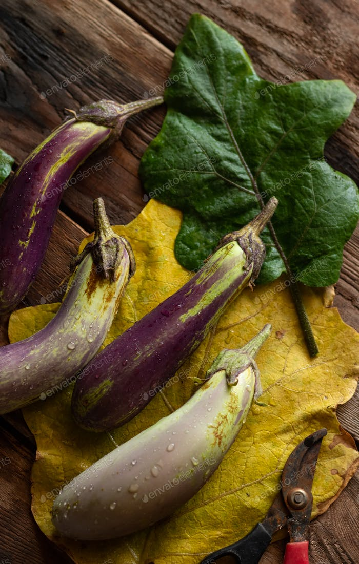 Organic purple eggplant