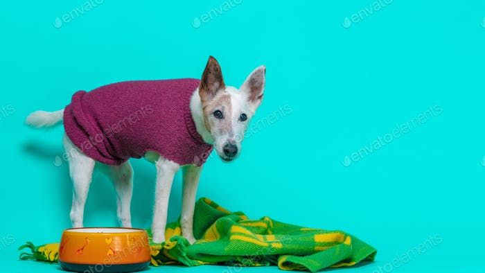 Fox Terrier Dog on a purple Jumper and blue Background