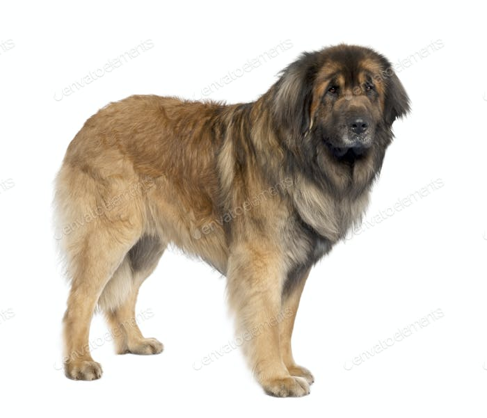 Leonberger (3 years old)