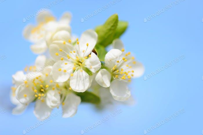 Blumen blühen auf einem Zweig der Pflaume gegen blauen Himmel