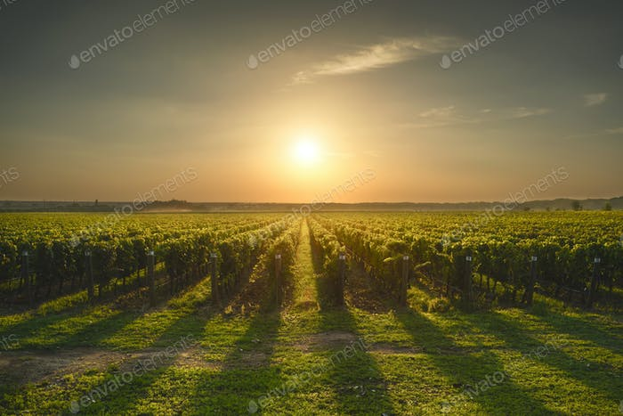Bolgheri and Castagneto vineyard on sunset in backlight. Maremma