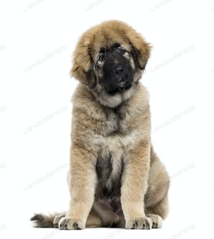 Caucasian Shepherd Dog isolated on white
