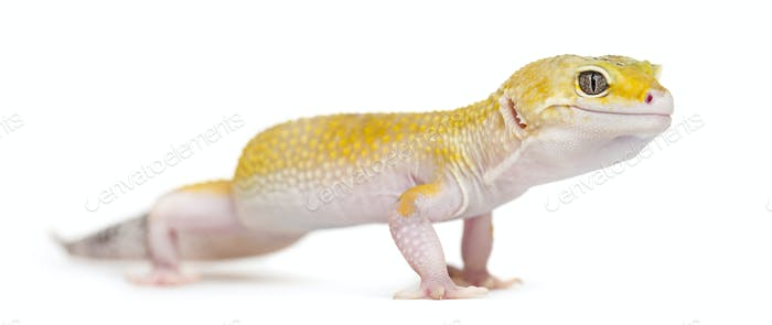 Yellow gecko standing, isolated on white