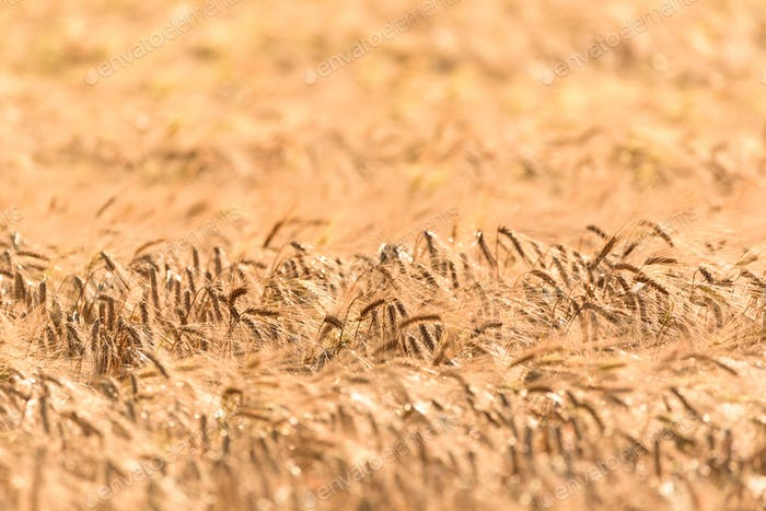Field of wheat rye