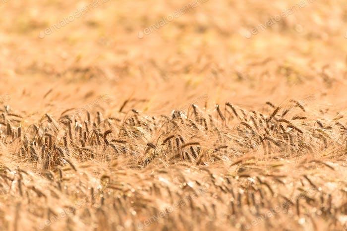 Weizenroggen
