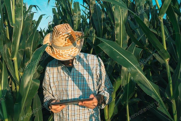 Landwirt Agronomist mit Tablet-Computer im Maisfeld
