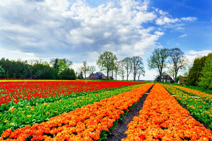 Wonderful tulips and fantastic sky by spring.