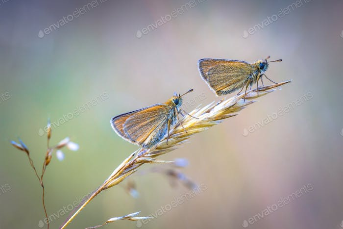Pair of Essex skipper perched on grass in early morning