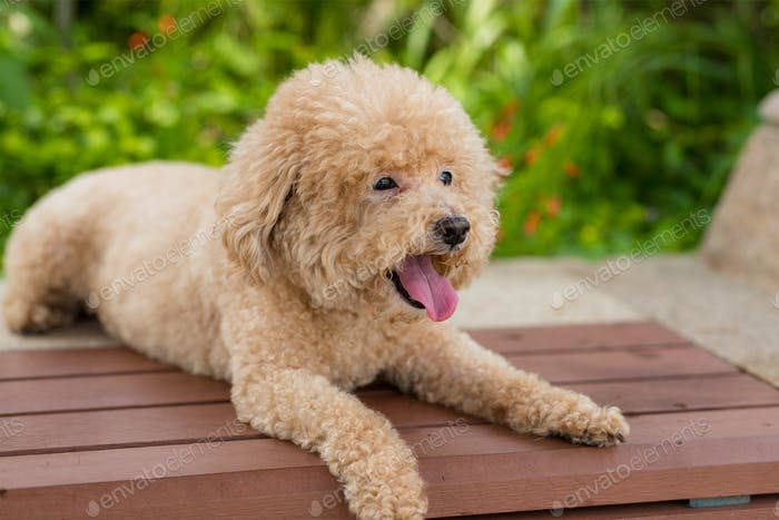 Lovely dog poodle sit on the wooden bench