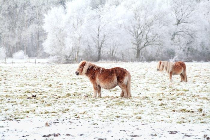 pony on a snowy frosty pasture