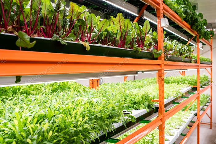 Green seedlings of beet and other kinds of vegetables growing on large shelves