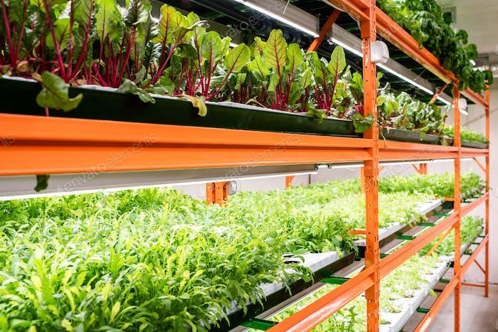 Grüne Sämlinge von Rüben und andere Arten von Gemüse, die auf großen Regalen wachsen