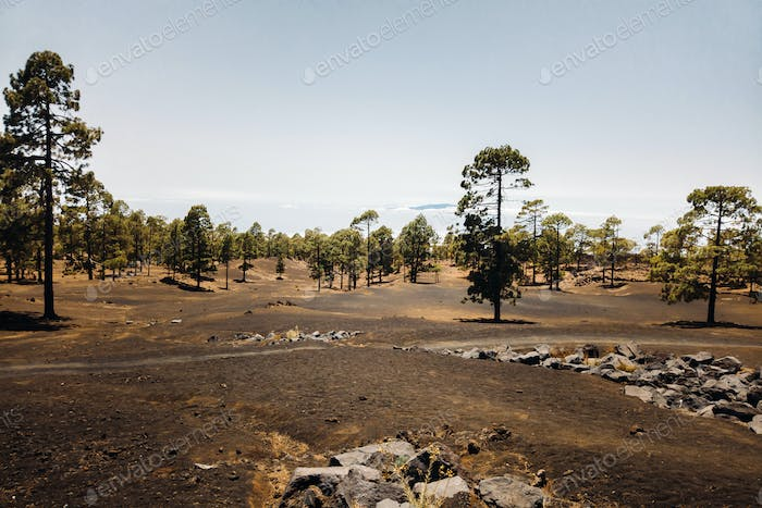 Trail in a pine forest on the slope of a volcano on a clear day. travel to the Canary Islands