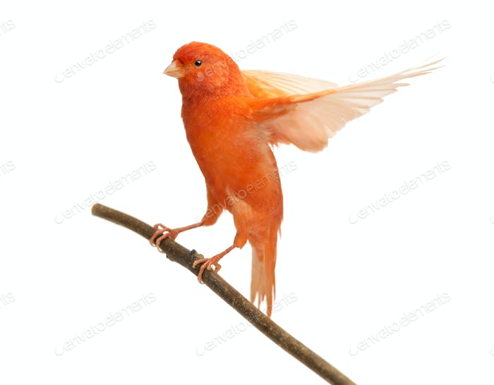 Red canary Serinus canaria, perched on a branch against white background