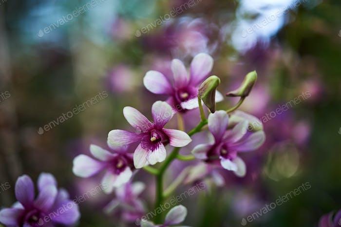 Nahaufnahme Ansicht Bündel von lila Orchidee