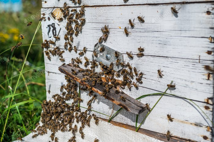 Honey Bees on Hive Entrance Hole. Flying Away and Returning