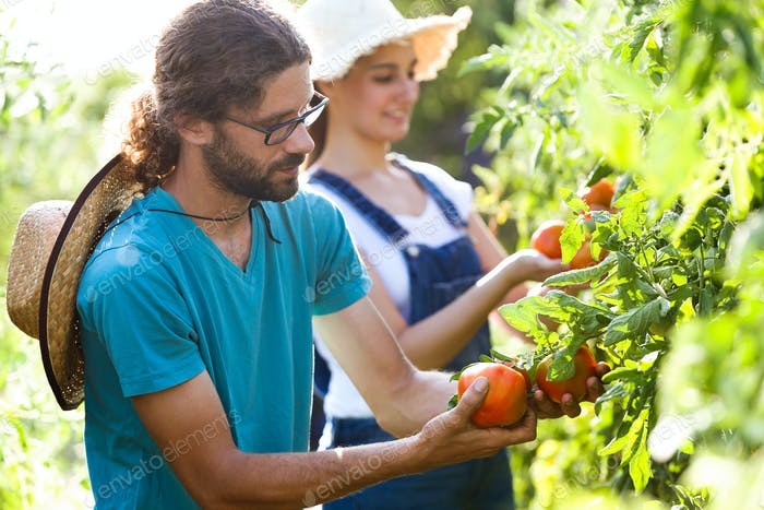 Horticulturist young couple harvesting fresh tomatoes and taking