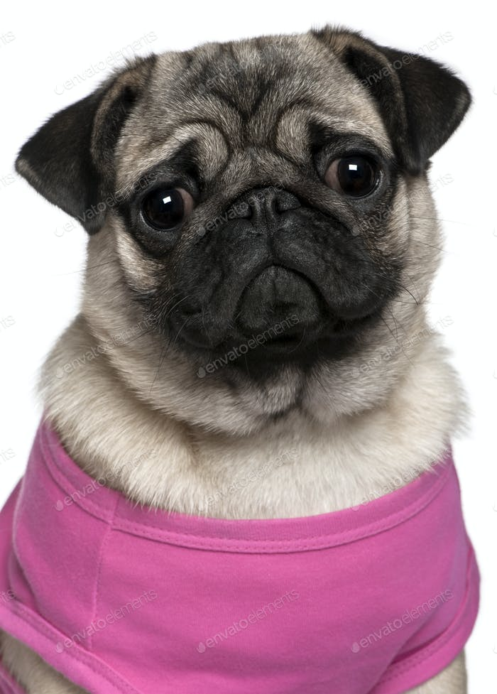 Pug dressed in pink, 7 months old, in front of white background