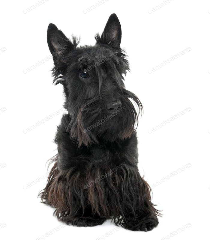 Scottish Terrier (16 months old)
