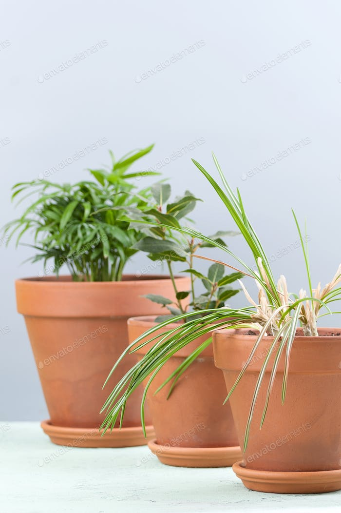Three potted plants on a bluish-gray background: Areca, Laurel a