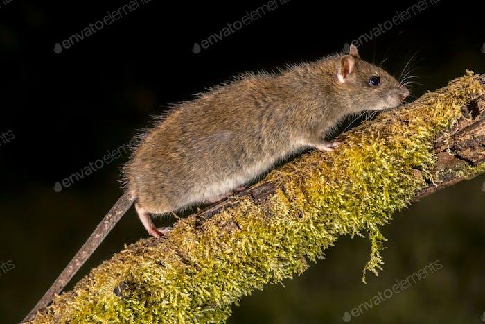 Wilde braune Ratte auf log in der Nacht