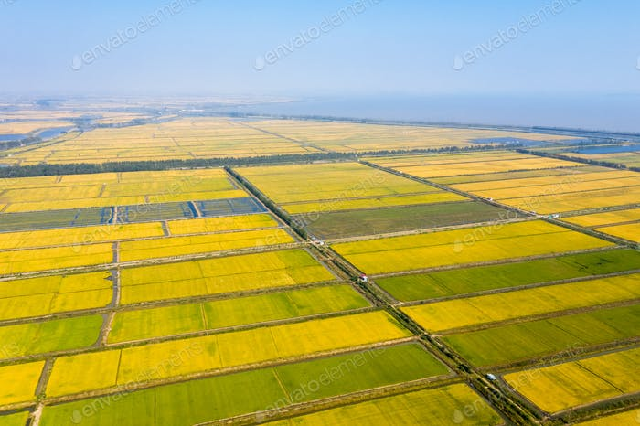 golden paddy field in autumn