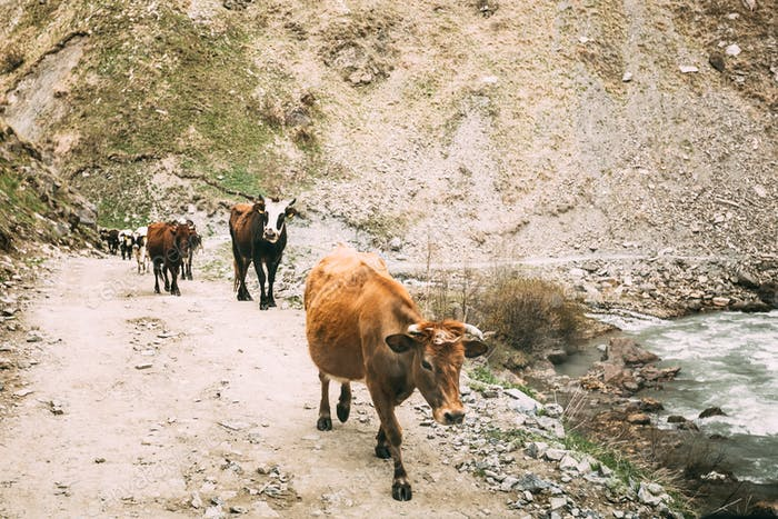 Cows Walking Along A Narrow Mountain Countryside Road In Rocky M
