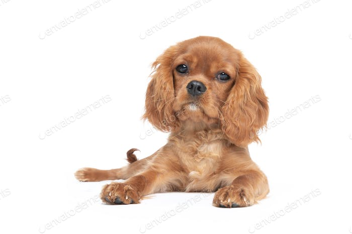 Lying puppy of king charles cavalier spaniel isolated on white