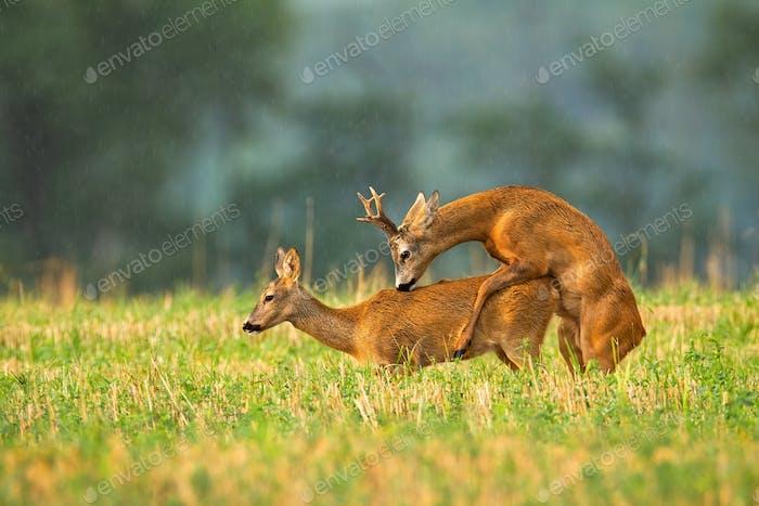 Roh und Rehbock Paarung in der Brunftsaison auf einem Stoppelfeld