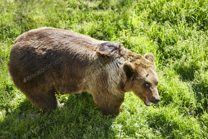 Brown bear on the wild. Wildlife environment. Animal background