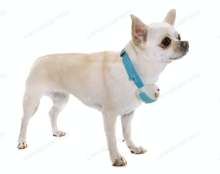 chihuahua and shock collar