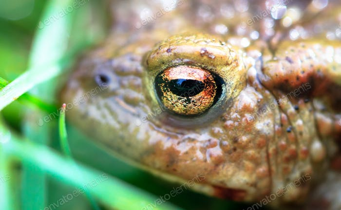 Common Toad Up Close in England