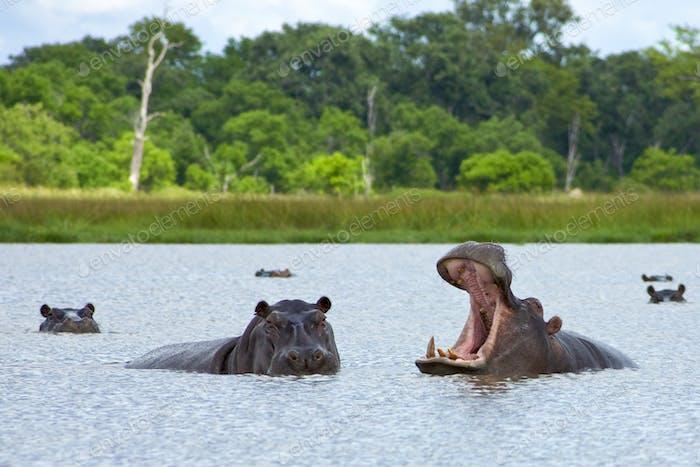 Hippopotamus in Okavango Delta - Moremi National Park in Botswana