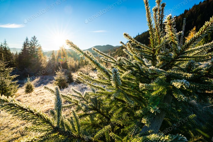 Funny cute Christmas tree sprinkled with white snow on a sunny meadow in the Carpathian mountains