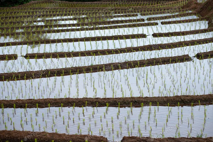 Rice seedlings in the fields.