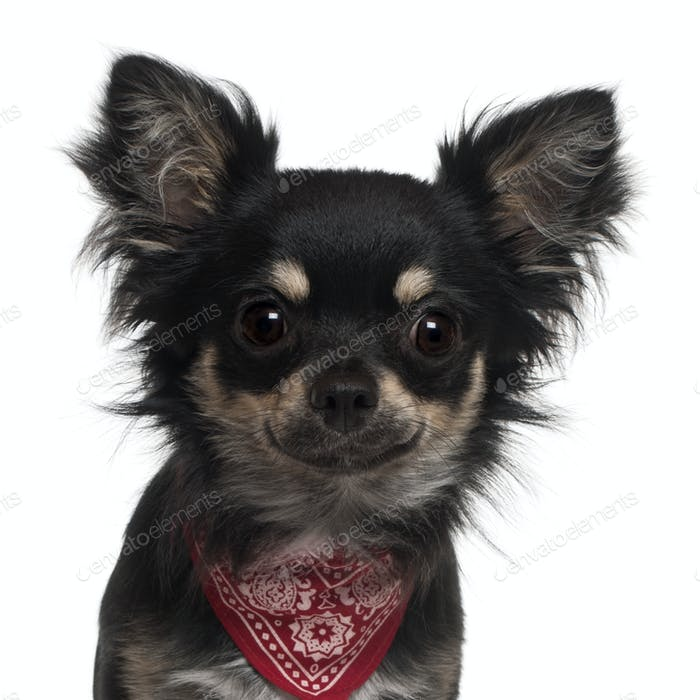 Close-up of Chihuahua wearing handkerchief, 1 year old, in front of white background