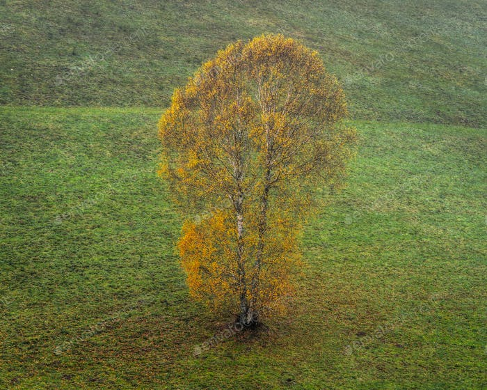 Isolated Birch with Fall Foliage
