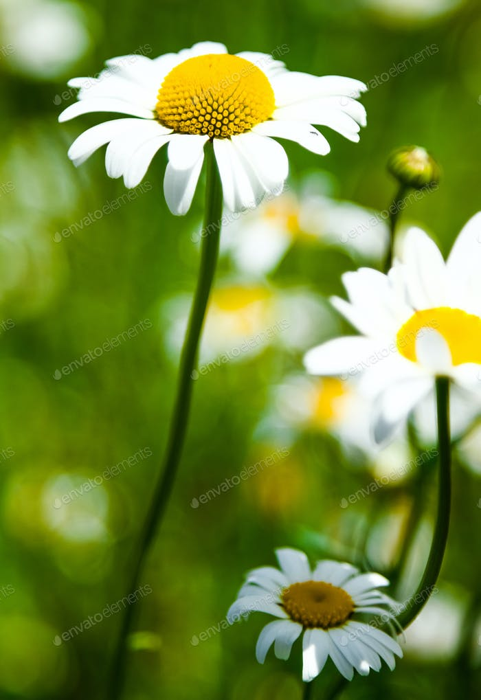 Detail of a beautiful Daisy Flower