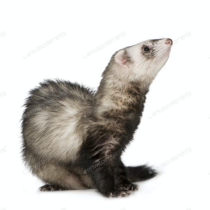 Ferret (2 years)