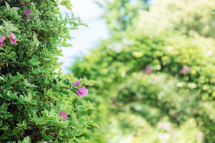 Bougainvillea in the park