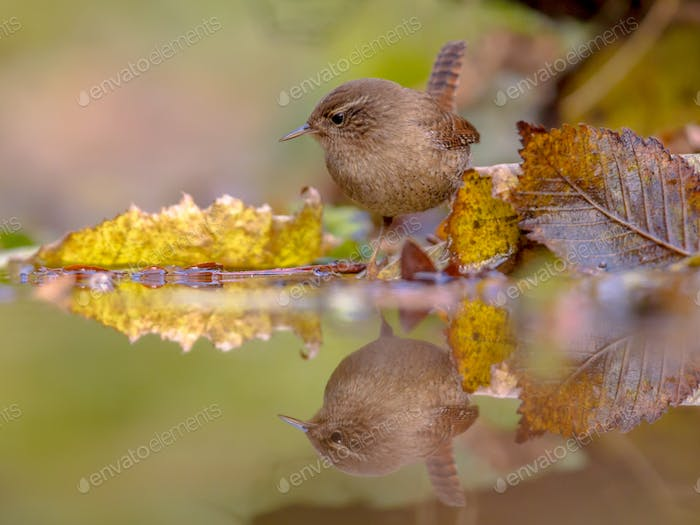 Reflection Eurasian wren autumn colored leaves